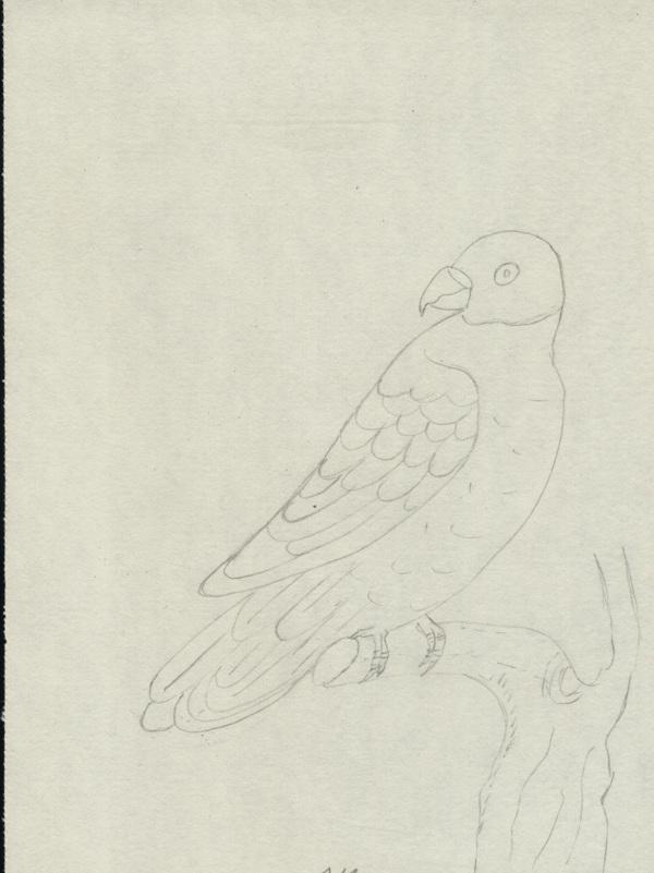desen papagal in creion micul alexandru