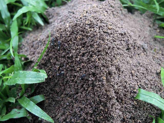 musuroi de furnici