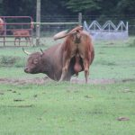 Diferenta dintre taur si bou?