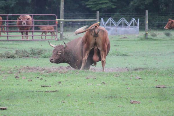 Care este diferenta dintre taur si bou