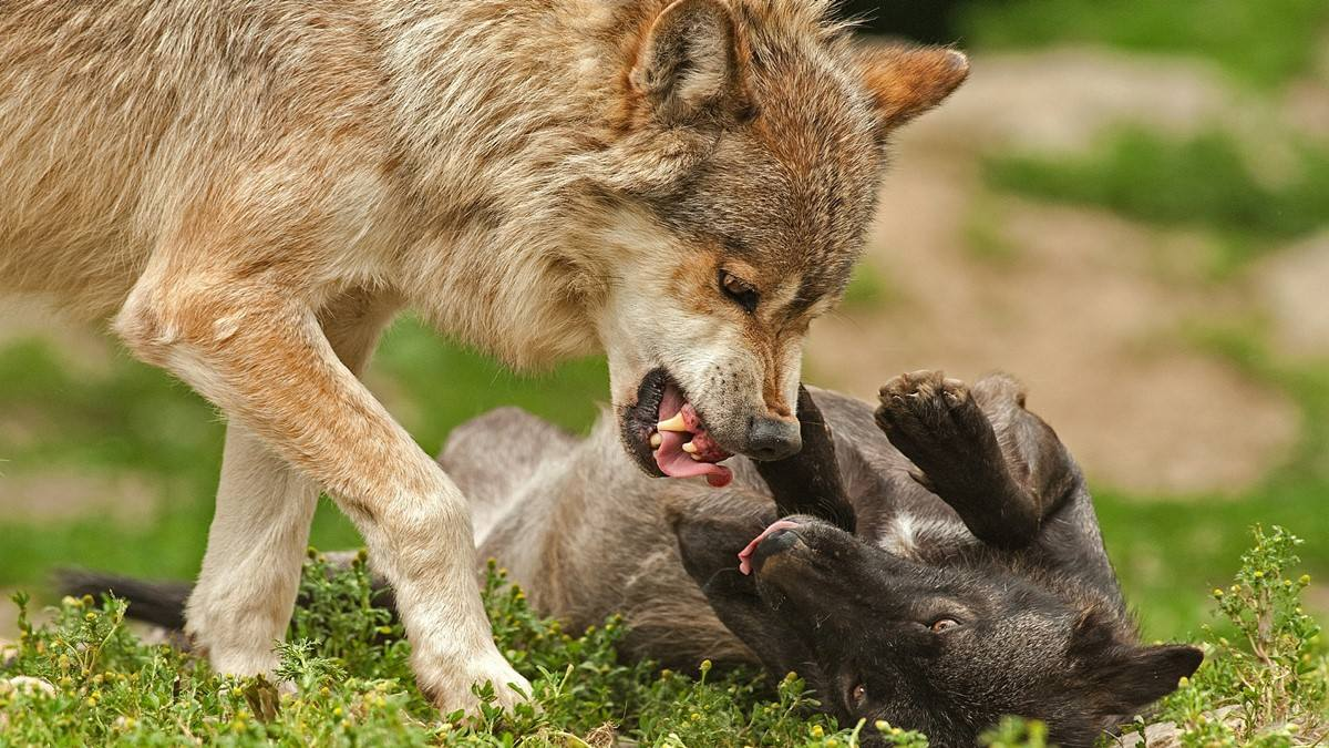 lupi care se joaca